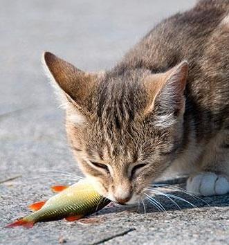 chat poisson