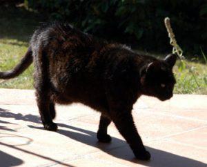 après de nombreuses portées, le ventre peut être un peu pendulaire, mais ce chat n'est pas en surpoids