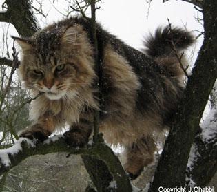 Le Maine Coon… un chat spécial ?