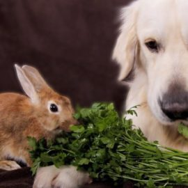 viande de lapin dans ration ménagère