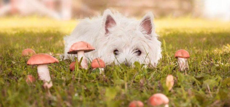 champignons pour le chien