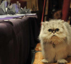 yaourt pour le chat