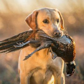 alimentation du chien de chasse