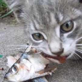 poisson gras chat