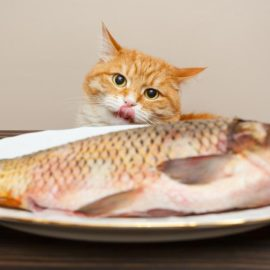 poisson à un chat