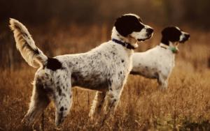 l'alimentation du chien de chasse