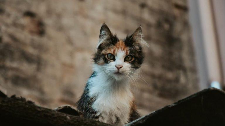 prédation du chat