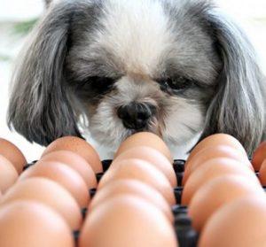 oeufs pour le chien