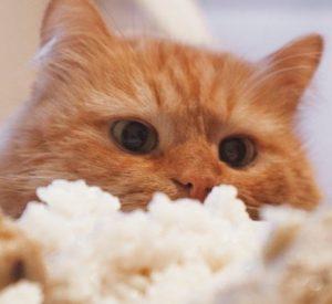 riz pour le chat