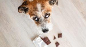 toxique pour le chien